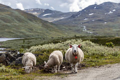 3 White Sheep Standing Near on Green Grass in Front of Green Mountains Stock Image