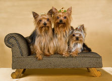 3 Yorkshire Terriers on brown sofa. 3 Pretty Yorkshire Terriers sitting on brown sofa couch Royalty Free Stock Photo