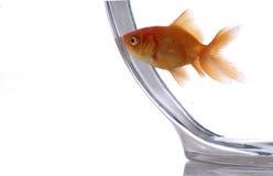 3 złotą rybkę Obraz Royalty Free