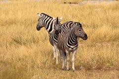 3 zebra Obrazy Royalty Free