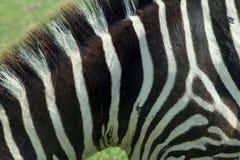 3 zebra tekstur Zdjęcia Royalty Free