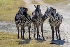 3 zebras gossip Royalty Free Stock Images