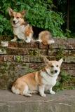 30条小狗pembroke威尔士 库存照片