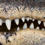 30鳄鱼美国人年 图库摄影