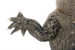 30鳄鱼美国人年 库存图片