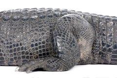 30 лет американца аллигатора стоковое фото rf