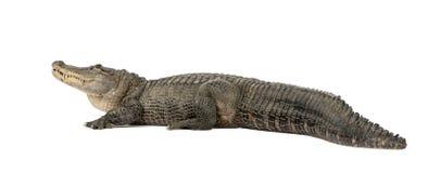 30 лет американца аллигатора стоковые изображения