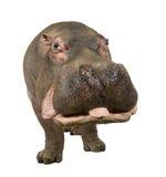 30 лет hippopotamus amphibius стоковое фото rf