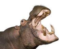 30 amphibius河马年 库存图片