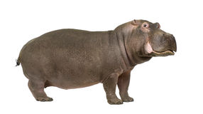 30 amphibius hipopotama rok Obrazy Stock