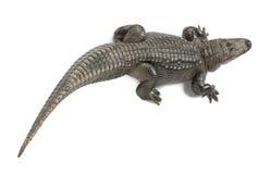 30 ans d'Américain d'alligator Photographie stock