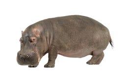 30 ans de hippopotamus d'amphibius Image stock