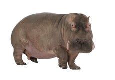 30 ans de hippopotamus d'amphibius Image libre de droits