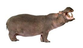 30 ans de hippopotamus d'amphibius Images libres de droits