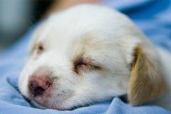 30 dagen oude hond Stock Foto's