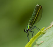 300dpi蜻蜓libellula 免版税库存照片