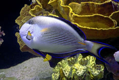 31 рыба тропическая Стоковые Фотографии RF