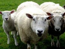 系列羊毛 库存照片