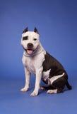 32美国斯塔福郡狗 免版税库存图片