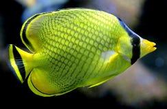 32 ψάρια τροπικά Στοκ Φωτογραφίες