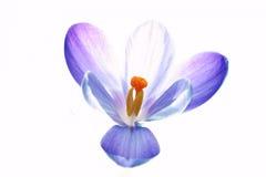 纯番红花的花 免版税库存照片