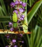绿色天猫座蜘蛛 库存图片