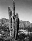 33片沙漠柱仙人掌 图库摄影