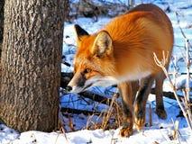 34只狐狸红色 免版税库存图片