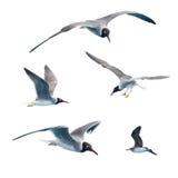 34 чайки Стоковое Изображение