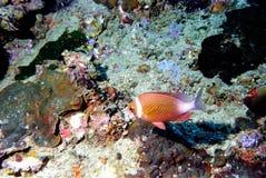 34 andaman珊瑚海惊奇的世界 免版税图库摄影