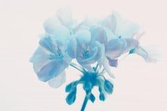 蓝色geraniium 库存照片