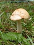 蚂蚁蘑菇 免版税库存图片