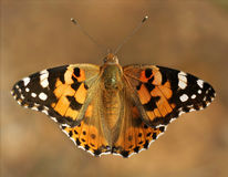 蛱蝶 免版税库存图片