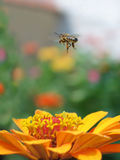 蜜蜂飞行 库存图片