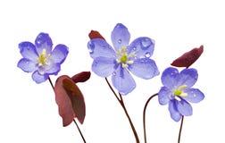 35朵早期的花春天 免版税库存图片