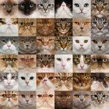 36 kattenhoofden Stock Fotografie