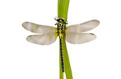 37蜻蜓 免版税库存图片