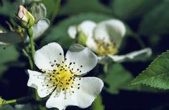 38457 multiflora wzrastał Zdjęcie Royalty Free
