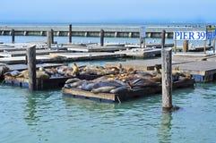 39头加利福尼亚狮子码头海运 库存图片