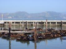 39头弗朗西斯科狮子临近码头其它圣海 库存图片