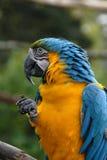 39蓝色金刚鹦鹉鹦鹉黄色 免版税库存图片