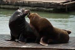 39 lwów mola morze Obrazy Royalty Free