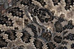 39 wąż Zdjęcie Royalty Free