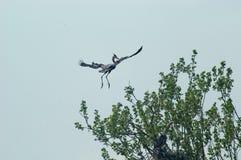 飞行苍鹭 库存图片