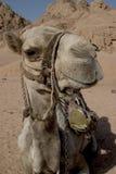 骆驼s微笑 免版税库存照片
