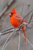3b cardinal Imagem de Stock Royalty Free
