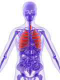 3d解剖学肺 免版税图库摄影