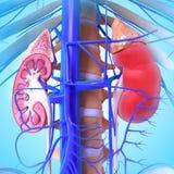 3d anatomie van nier Royalty-vrije Stock Afbeelding