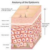 3d anatomy of the epidermis. Layers of the skin epidermis with keratinocytes moving up as they age, eps8 Stock Image