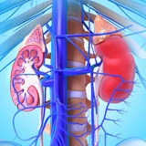 3d anatomy of kidney. 3D art illustration of 3d anatomy of kidney Royalty Free Stock Image